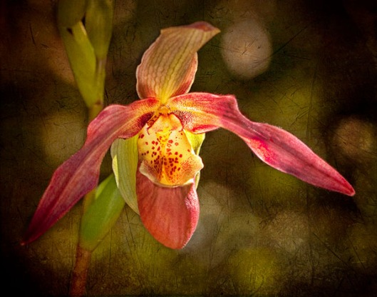 Solitary Slipper Orchid